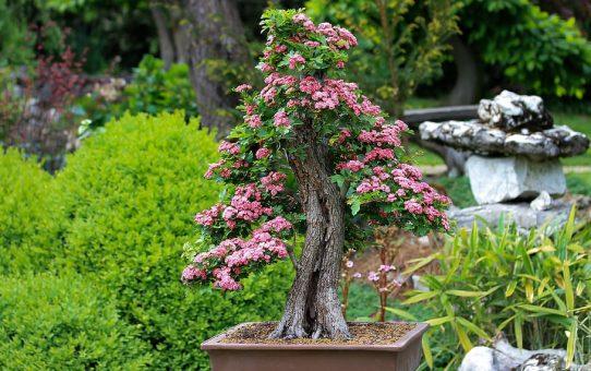 elagage-bonsai