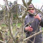 Taille-arbre-fruitier
